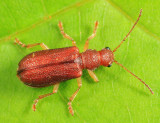 Rusty Leaf Beetle - Syneta ferruginea