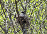 Eastern Kingbird - Tyrannus tyrannus (on nest)
