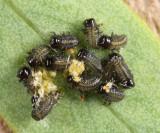 Imported Willow Leaf Beetle larvae - Plagiodera versicolora