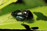 Imported Willow Leaf Beetles mating - Plagiodera versicolora