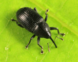 Sibariops sp.