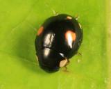 Esteemed Lady Beetle - Hyperaspis proba