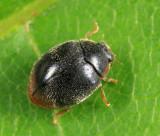 Scymnus nr fraternus (female)