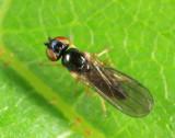 Rhopalopterum sp.