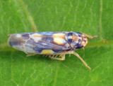 Erythroneura carbonata