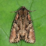 10299 – Speckled Cutworm - Lacanobia subjuncta