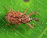 Pseudanthonomus sp.