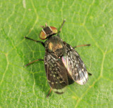 Signal Flies - Platystomatidae