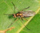 Dolichopus albicoxa