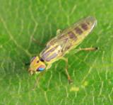 Meromyza sp.