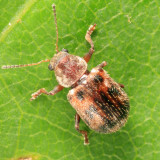Ten-spotted Leaf Beetle - Xanthonia decemnotata