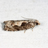 3333 – Oak Trumpet Skeletonizer Moth – Catastega timidella