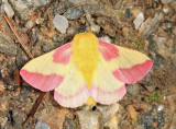 7715 - Rosy Maple Moth - Dryocampa rubicunda