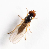 Flies - Anthomyzidae