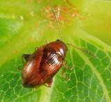 Flea Beetle - Chrysomelidae - Margaridisa atriventris
