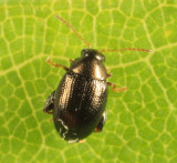 Flea Beetle - Chrysomelidae - Psylliodes sp.