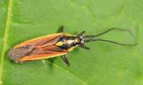 Meadow Plant Bug - Miridae - Leptopterna dolabrata