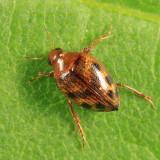 Crawling Water Beetle - Haliplidae - Haliplus sp.