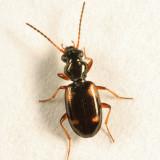Four-spotted Ground Beetle - Carabidae - Bembidion quadrimaculatum