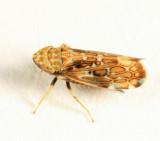 Leafhopper - Cicadellidae - Latalus ocellaris