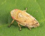Meadow Spittlebug - Cercopidae - Philaenus spumarius