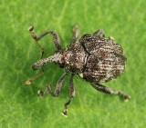 Weevil - Curculionidae - Parauleutes nebulosus