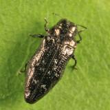 Metallic Wood-boring Beetle - Buprestidae - Taphrocerus sp.