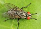 Flesh Fly - Sarcophagidae