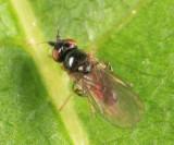 Frit Fly - Chloropidae