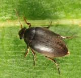 Plate-thigh Beetle - Eucinetidae - Eucinetus morio