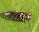 Click Beetle - Elateridae - Melanotus pertinax