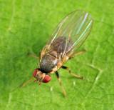 Leaf-mining Fly - Agromyzidae