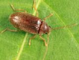 Toe-winged Beetle - Ptilodactylidae - Ptilodactyla sp.