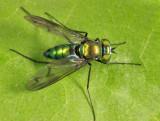Longlegged Fly - Dolichopodidae - Condylostylus patibulatus