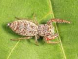 Jumping Spider - Salticidae - Hentzia palmarum (female)