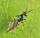 Eulophidae - Tetrastichinae