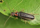 Soldier Beetle - Cantharidae - Rhagonycha angulata