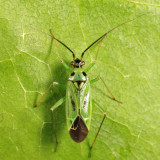 Plant Bug - Miridae - Ilnacora malina