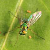 Longlegged Fly - Dolichopodidae - Sciapodinae