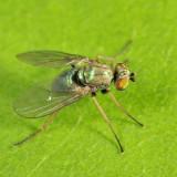 Longlegged Fly - Dolichopodidae - Diaphorinae