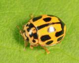 Fourteen-spotted Lady Beetle - Coccinellidae - Propylea quatuordecimpunctata