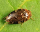Predacious Diving Beetle - Dytiscidae - Laccophilus maculosus