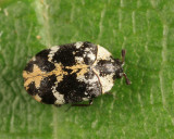 Buffalo Carpet Beetle - Anthrenus scrophulariae