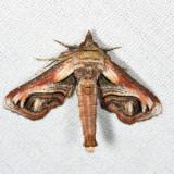 8957 - Eyed Paectes - Paectes oculatrix