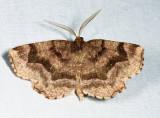 6827 – Refracted Metarranthis Moth – Metarranthis refractaria