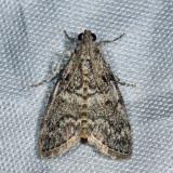 5606 - Maple Webworm - Pococera asperatella