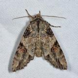 10291 – Fluid Arches Moth – Morrisonia latex