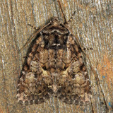 10288 – Disparaged Arches Moth – Orthodes detracta