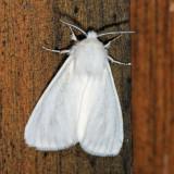 8140 – Fall Webworm Moth – Hyphantria cunea
