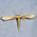 Plume Moth - Pterophoridae